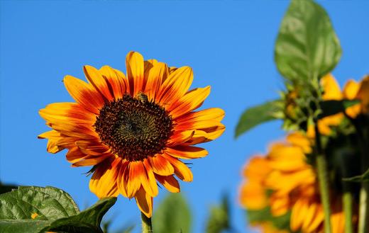 Sun flower jigsaw puzzle