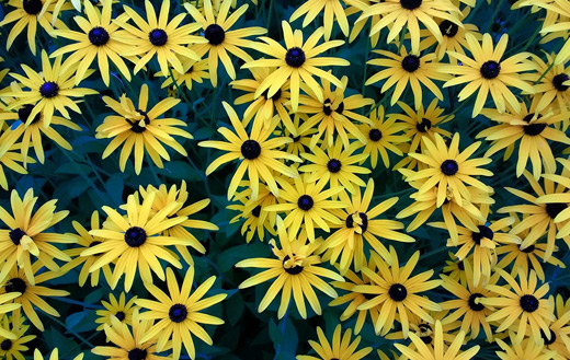 Yellow flowers jigsaw