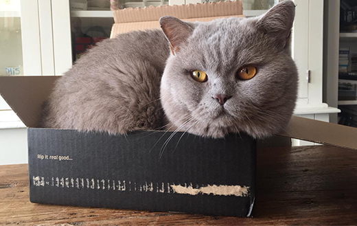 British-Shorthair-in-box