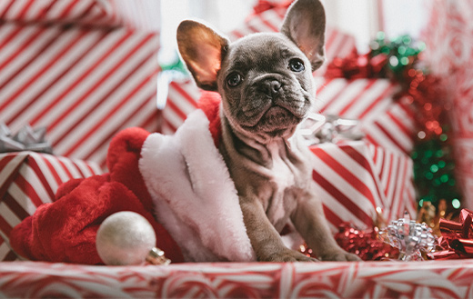 Christmas-French-Bulldog-Puppy