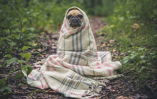Pug-snugged-in-a-blanket