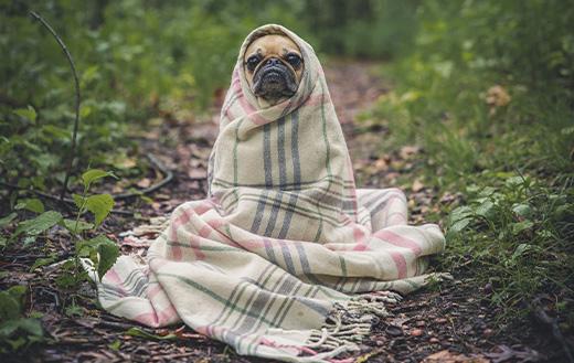 Pug-snugged-in-a-blanket