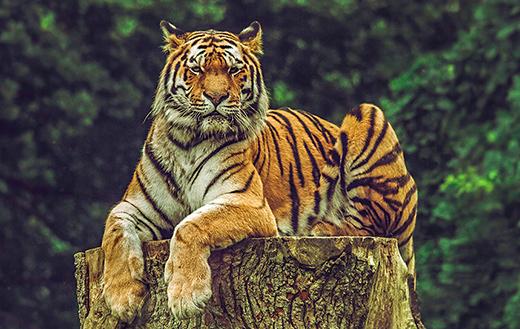 tiger-on-wood-slab