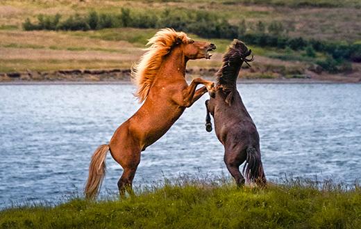 Brown-horses-near-water