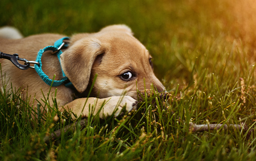 puppy-lying-on-green-grass