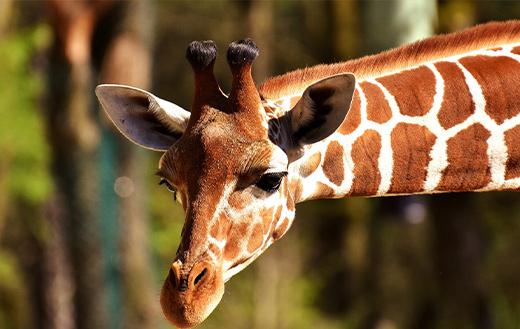 Giraffe-sweet-face