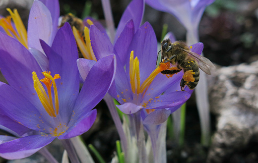 Collecting crocus honeybee