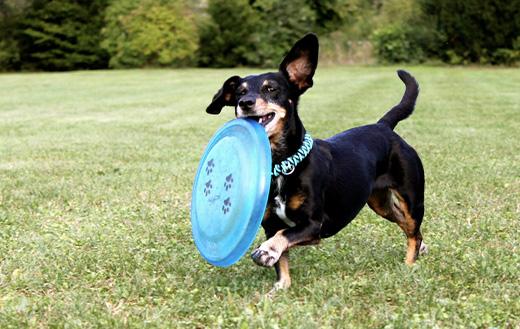 Teckel frisbee dog running