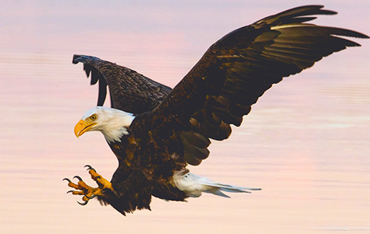 Soaring-eagle-over-water