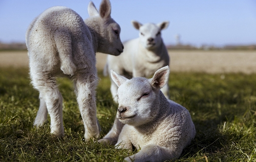 lambs-in-the-grass