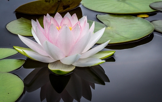 Pristine-water-lily