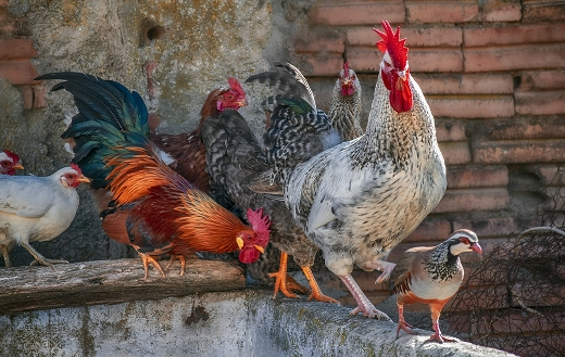 chickens jigsaw puzzle.