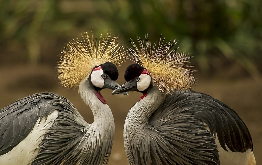 Grey crowned crane love puzzle.