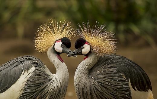 Grey crowned crane love puzzle.