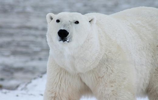 Polar bear arctic wildlife jigsaw