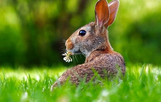 Rabbit hare animal puzzle