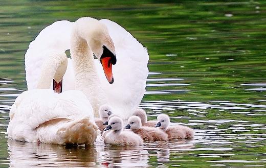 swans-family