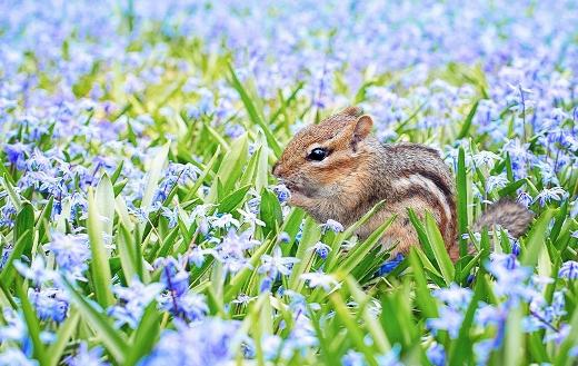 Chipmunk animal spring field meadow flowers