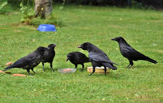 Common raven crow jackdaw bird puzzle