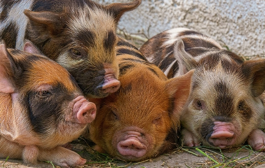 Cute piglet pigs