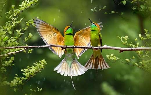 Flycatcher rainbow birds puzzle