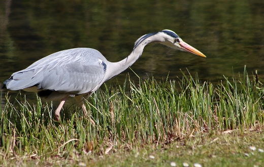 Heron grey bill