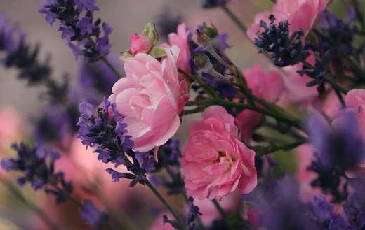 Lavender roses flowers garden nature online