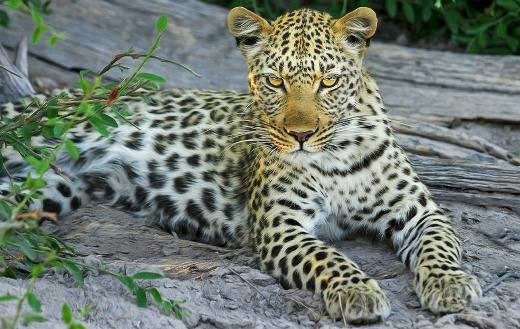 Leopard big wild cat Botswana Afrika online