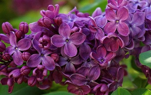 Lilac flower puzzle