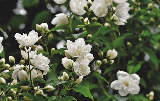 Ornamental shrub jasmine scent online