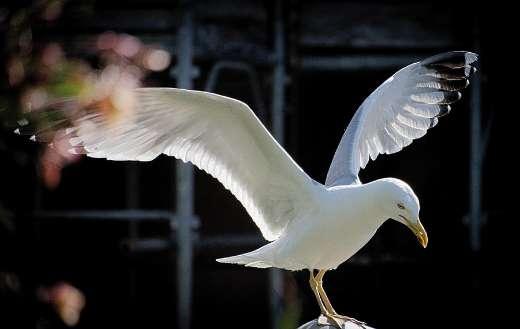 Seagull free bird online