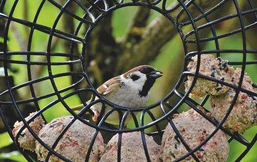 Sparrow birdie puzzle
