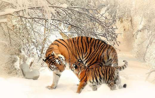 Tiger young cub family online