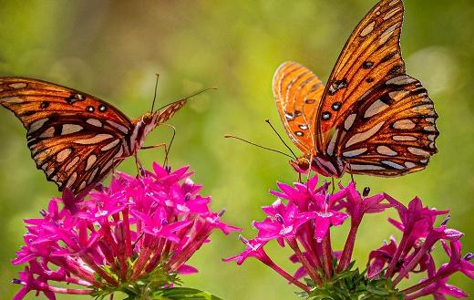 Two butterflies pink flowers
