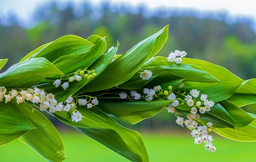 Lily of the valley spring blossom
