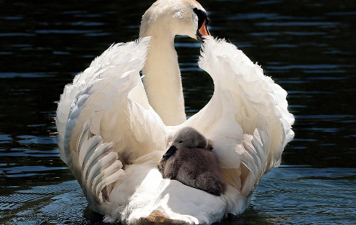 Mother swan love puzzle