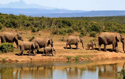 African bush herd elephant