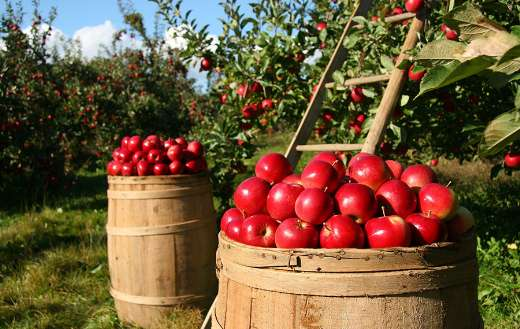 Apple orchard online