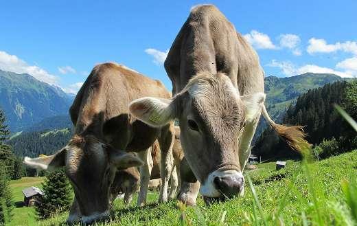 Austria cows pasture puzzle