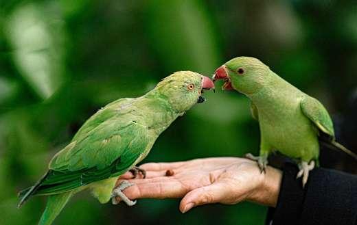 Green parrots pet