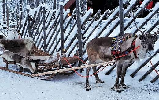Lapland reindeer snow icy online