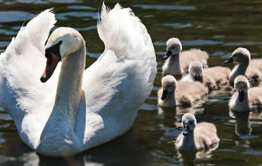 Mother swan with little ones online