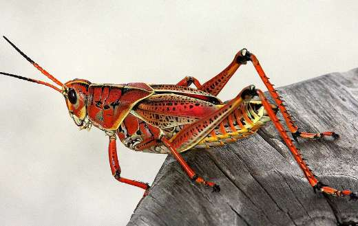 Nice red color grasshopper