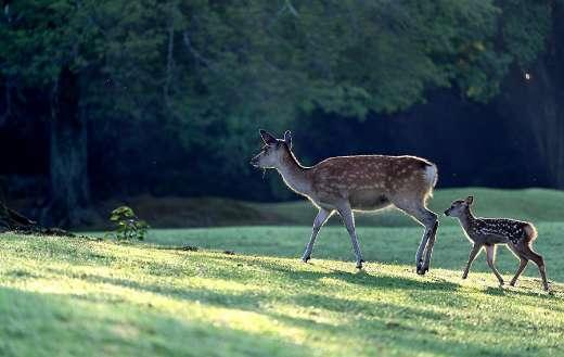 Parent child deer cute kujika