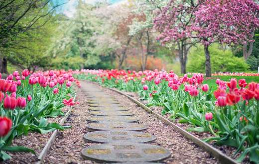 Pink tulips pathway spring time