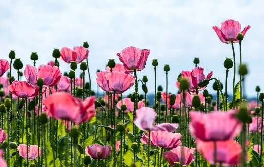 Poppy pink field flowers puzzle