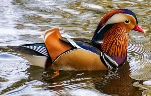 The mandarin bird duck
