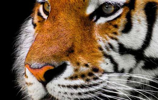 Tiger face animal puzzle