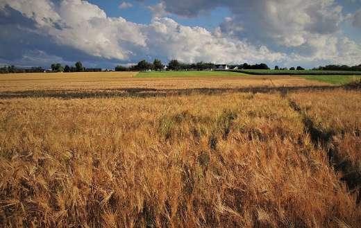 Wheat corn summer grow
