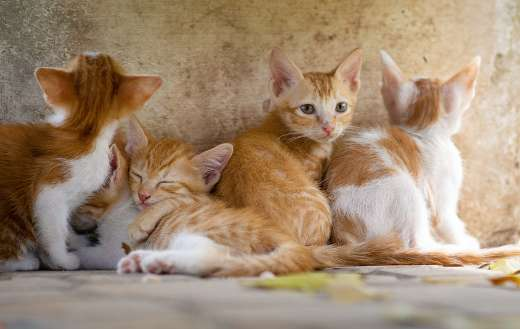 Brown kitty cats pets online